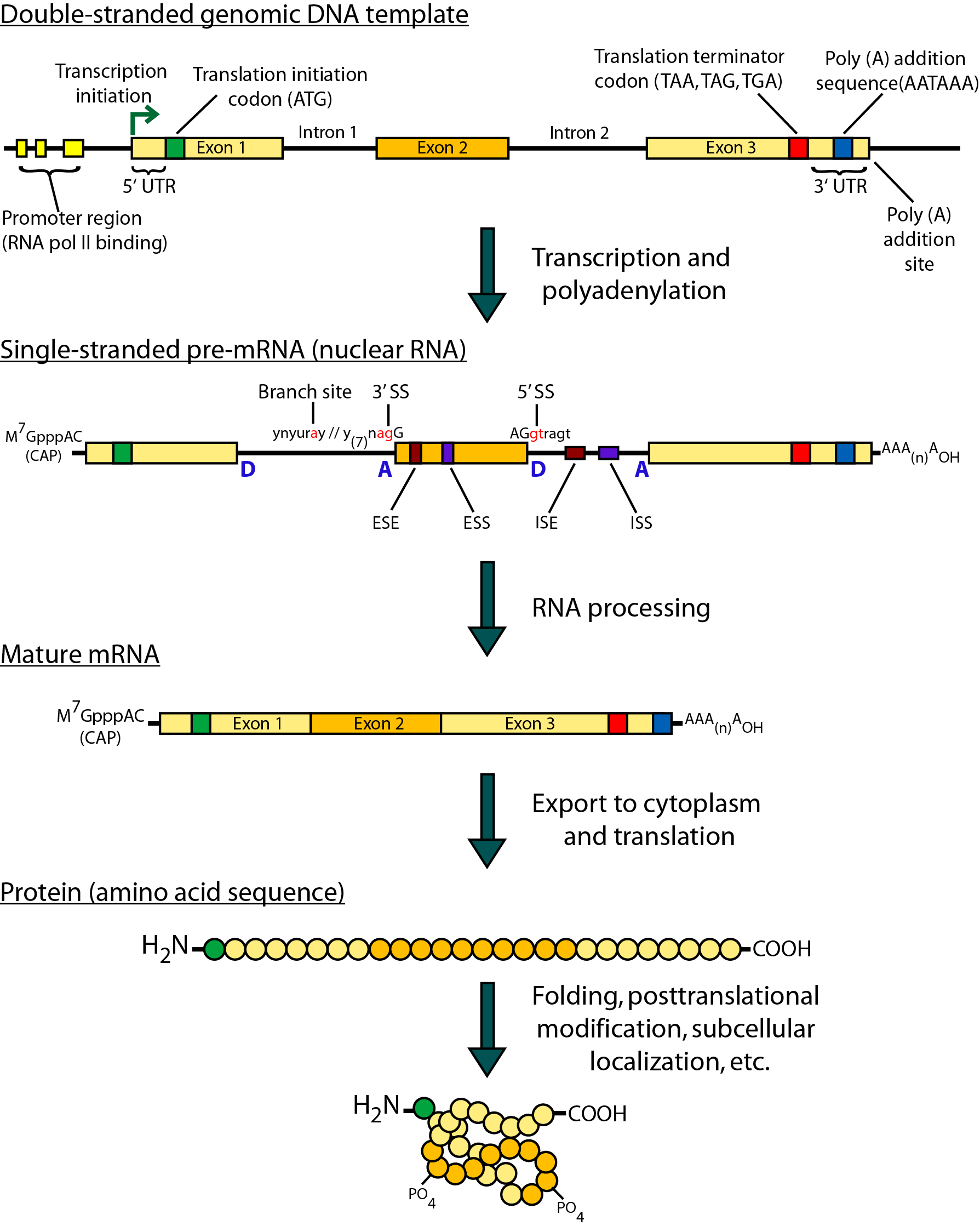 Gene expression diagram